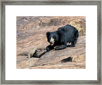 Sloth Bear And Mongoose Framed Print