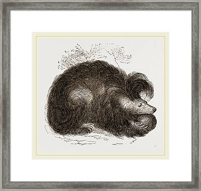 Sloth-bear Framed Print