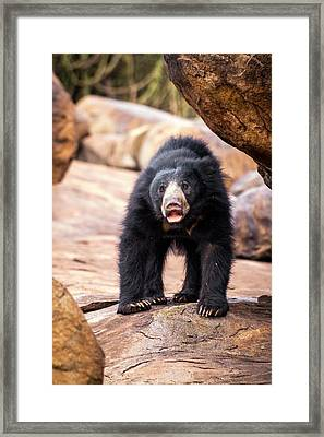 Sloth Bear Framed Print