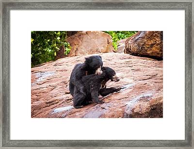 Sloth Bears Play-fighting Framed Print by Paul Williams