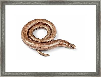Slow Worm Framed Print by Alex Hyde