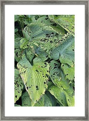 Slug And Snail Damage Framed Print by Geoff Kidd