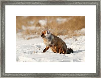 Slush Puppy Red Fox In The Snow Framed Print by Roeselien Raimond