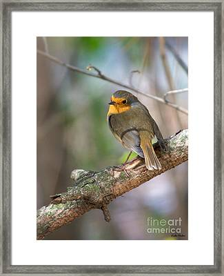 Small Bird Robin Framed Print by Jivko Nakev