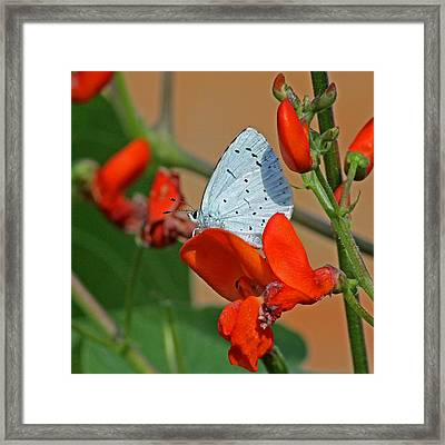 Small Blue Butterfly Framed Print