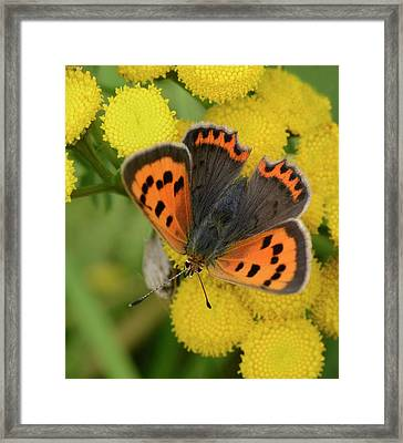 Small Copper Butterfly Framed Print by Nigel Downer
