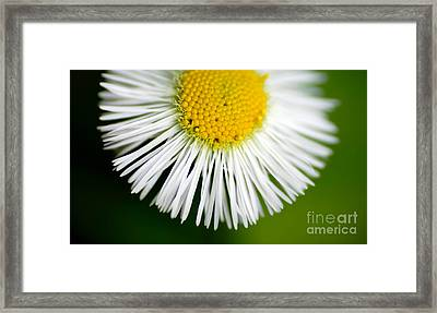 Small Daisy Macro Framed Print by Amy Cicconi