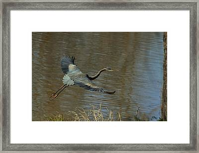 Small Heron Takeoff - C9066g Framed Print by Paul Lyndon Phillips
