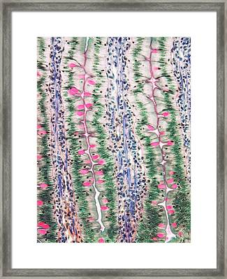 Small Intestine Framed Print by Steve Gschmeissner
