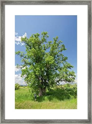 Small Leaved Elm (ulmus Minor) Tree Framed Print by Bob Gibbons