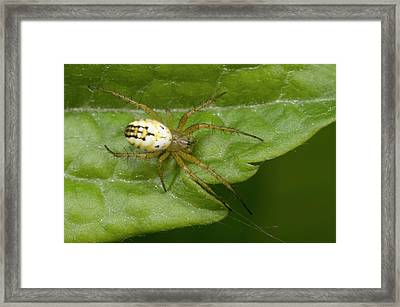 Small Orb-web Spider Framed Print by Nigel Downer