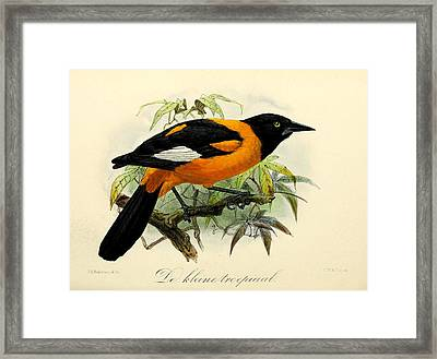 Small Oriole Framed Print by Rob Dreyer