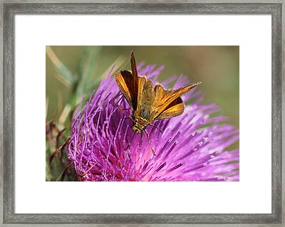 Framed Print featuring the photograph Small Skipper - Thymelicus Sylvestris by Jivko Nakev