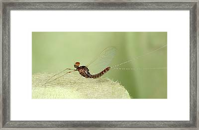 Small Spurwing Mayfly Framed Print by Nigel Downer