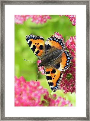 Small Tortoiseshell Butterfly Framed Print by David Aubrey