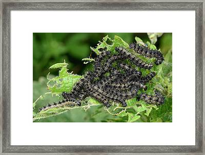 Small Tortoiseshell Caterpillars Framed Print by Nigel Downer