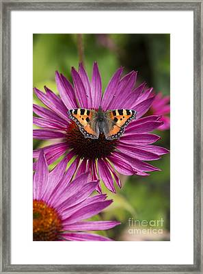 Small Tortoiseshell On Echineca Purpurea Flower Framed Print by Tim Gainey