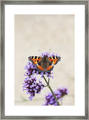 Small Tortoiseshell On Verbena Framed Print by Tim Gainey