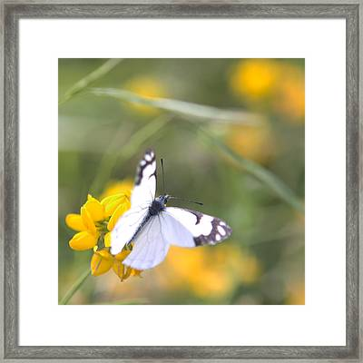 Framed Print featuring the photograph Small White Butterfly On Yellow Flower by Belinda Greb