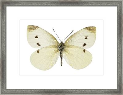 Small White Butterfly Framed Print by Science Photo Library