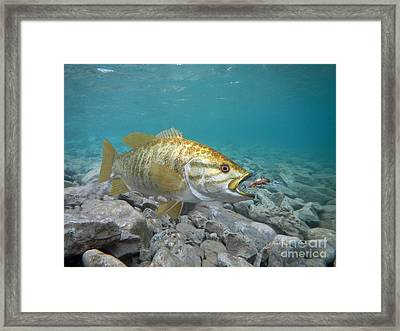Smallmouth Bass And Rebel Lure Framed Print