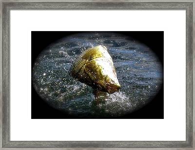 Smallmouth Bass Framed Print by Richard Majeau