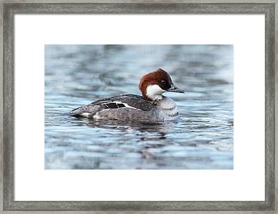 Smew Female Duck Framed Print by Simon Booth