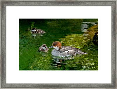 Smew With Ducklings Framed Print