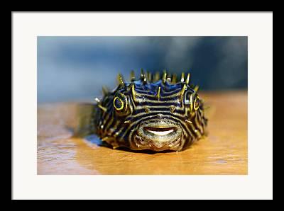 Puffer Fish Digital Art Framed Prints