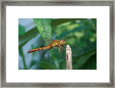 Smilin Dragonfly Framed Print