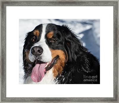 Smiling Bernese Mountain Dog In Winter Snow Framed Print
