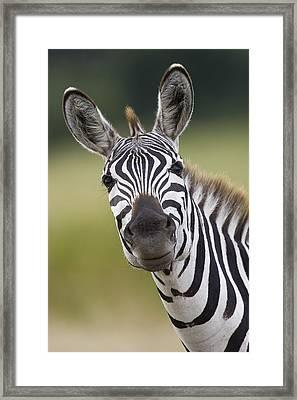 Framed Print featuring the photograph Smiling Burchells Zebra by Suzi Eszterhas
