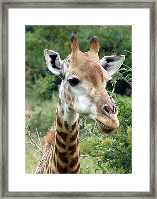 Smiling Giraffe Framed Print by Ramona Johnston