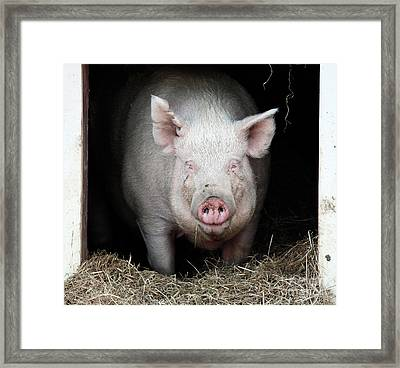 Smiling Pig Framed Print