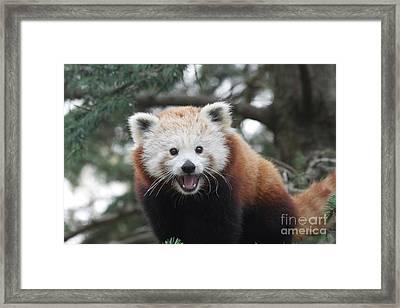 Smiling Red Panda Framed Print
