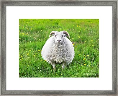 Smiling Sheep Framed Print