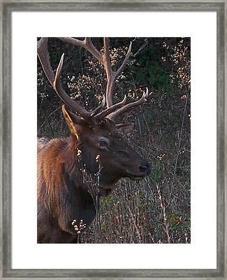 Smoky Bull Framed Print by Skip Willits