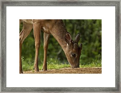 Smoky Mountain Deer Framed Print by Andrew Soundarajan