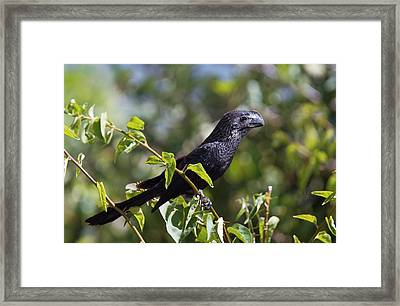 Smooth-billed Ani Framed Print by Bob Gibbons