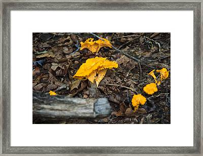 Smooth Chanterelle Framed Print by Chris Flees