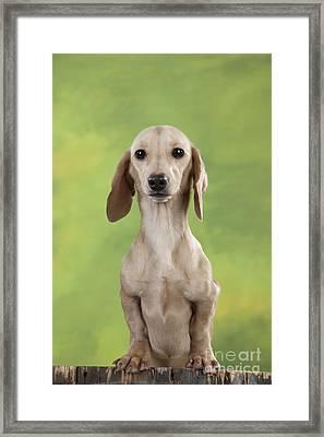 Smooth-coated Dachshund Framed Print by John Daniels