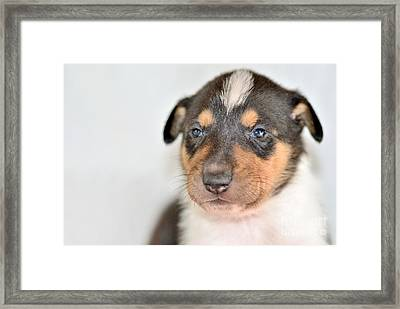 Smooth Collie Puppy Framed Print by Martin Capek