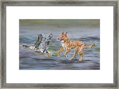 Smooth Collie Trying To Herd Geese Framed Print