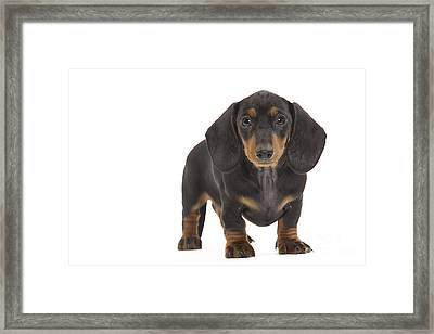 Smooth-haired Dachshund Framed Print by Jean-Michel Labat
