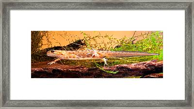 Smooth Or Common Newt  Framed Print by Dirk Ercken