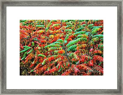 Smooth Sumac Fall Color Framed Print by Thomas R Fletcher