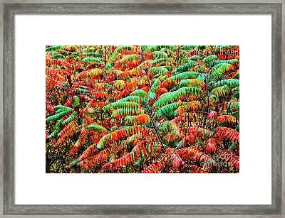 Smooth Sumac Fall Color Framed Print by Thomas R Fletcher