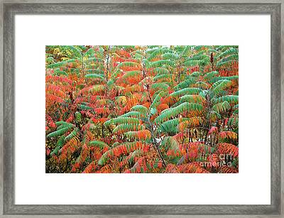 Smooth Sumac Red And Green Leaves Framed Print by Thomas R Fletcher