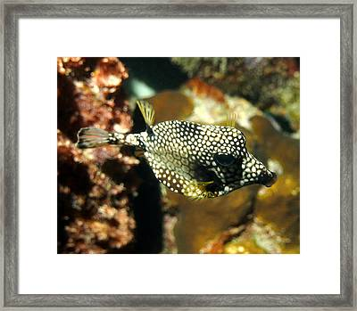 Smooth Trunkfish Framed Print by Amy McDaniel