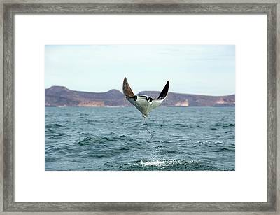 Smoothtail Mobula Ray Leaping Framed Print
